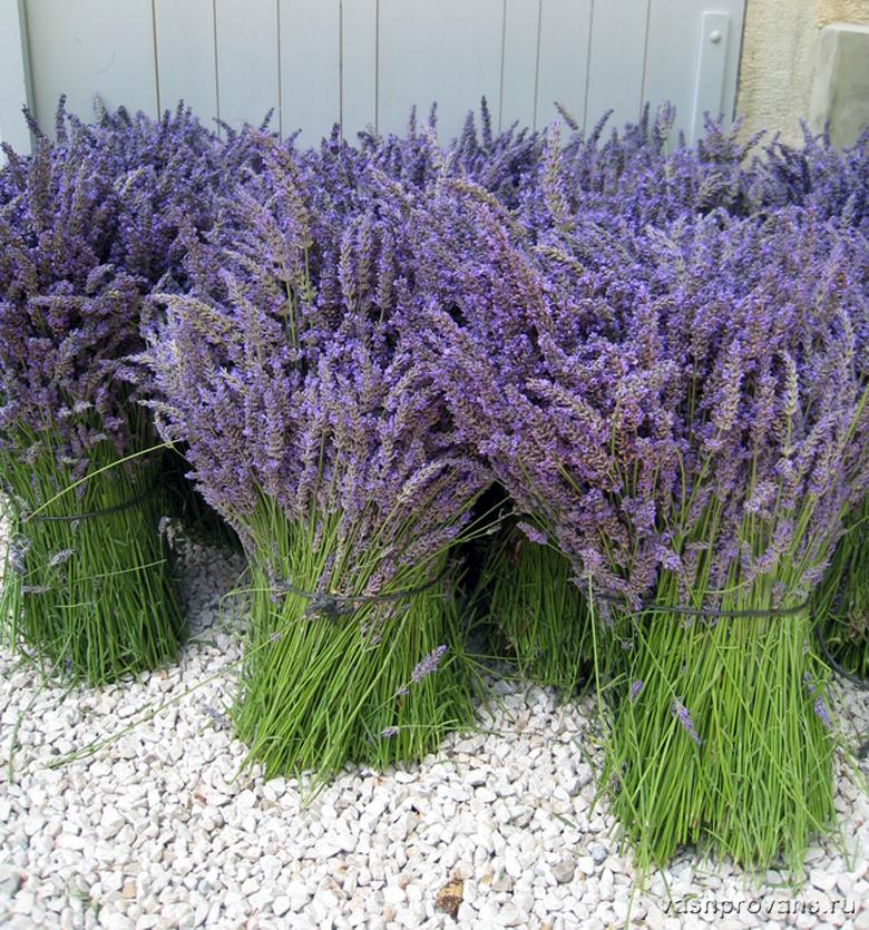 Lavande Provence17