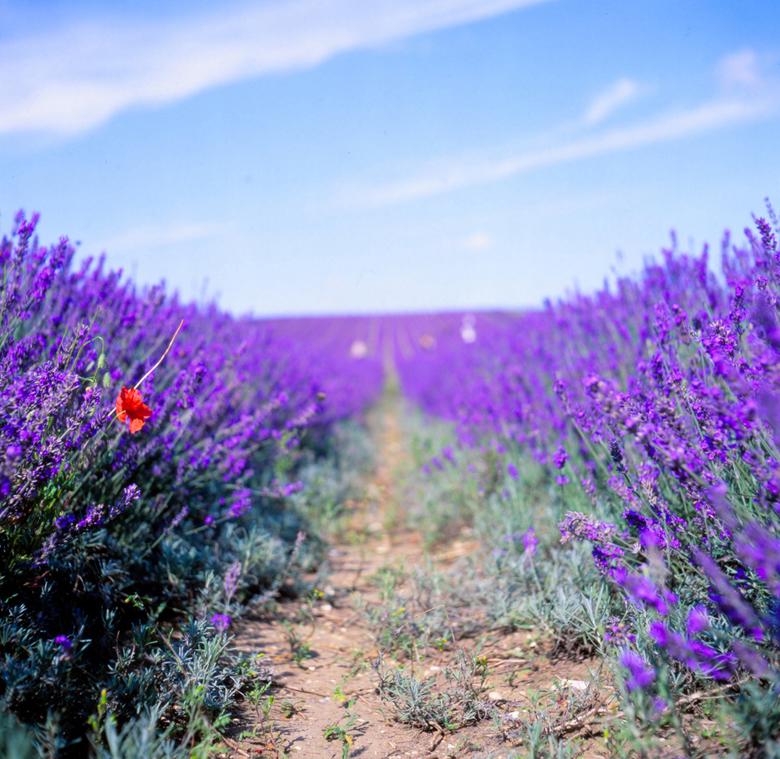 Lavande Provence4