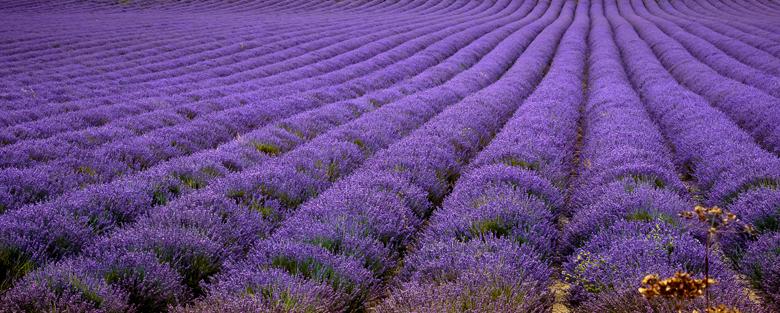 Lavande Provence8
