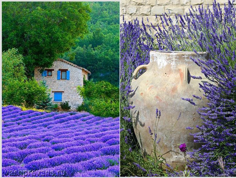 Lavande de la Provence