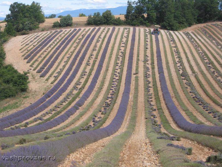 Lavande-en-Provence 1