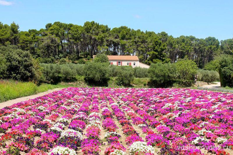 cvety-rozovye-Provans-Franciya