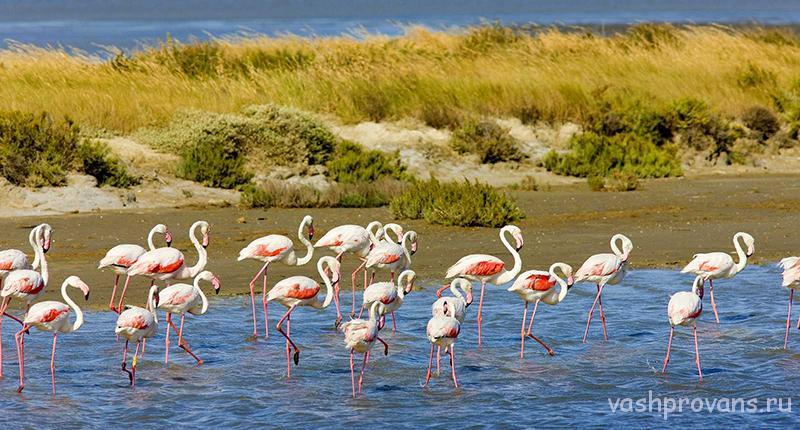 kamarg-provans-franciya-flamingo